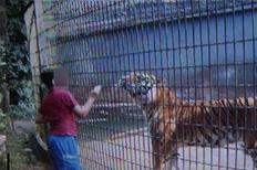 cage_tiger_01